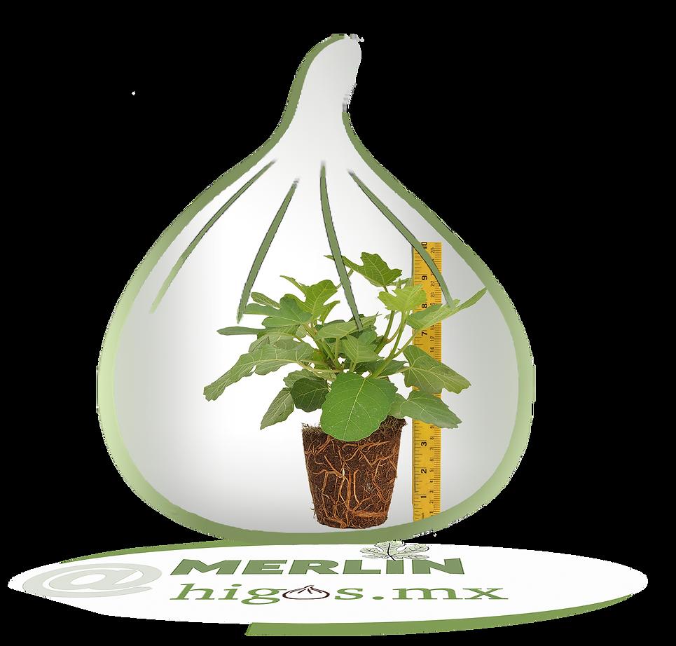 Higo black mission  mostrando tamaño de planta.