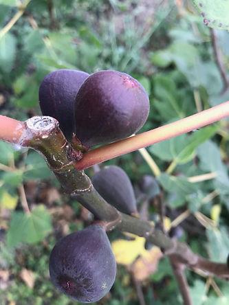 Fruto Higo Gran Duque