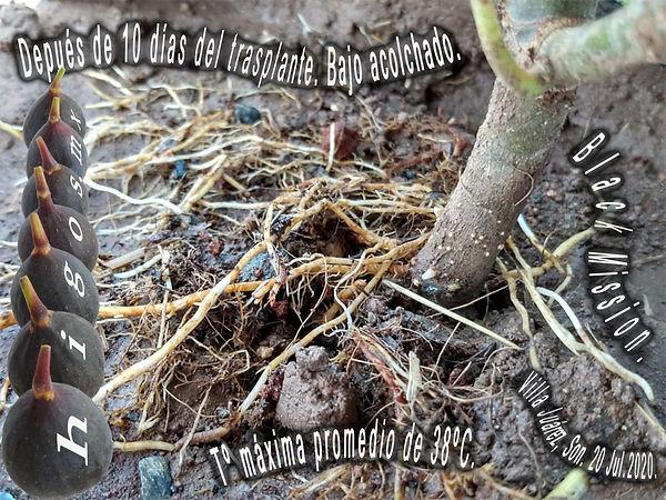 Desarollo de raíces después de 10 días del trasplante en higo black mission bajo altas temperaturas.