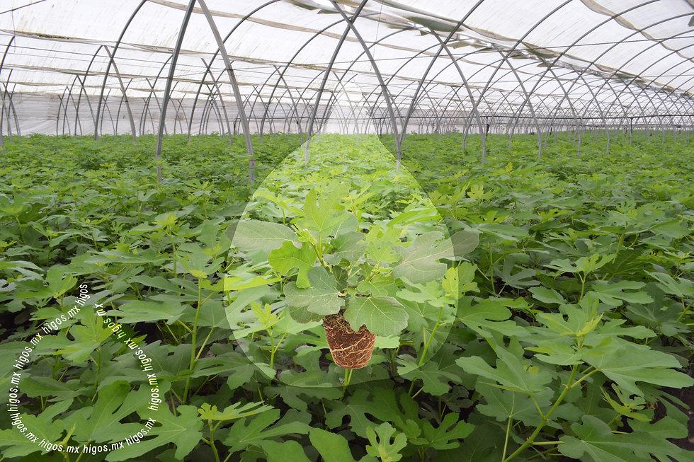 Planta madre de higo black mission.jpg
