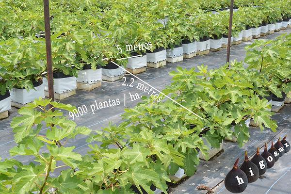 Densidad de 9000 plantas por hectárea de higo black mission en macrotunel