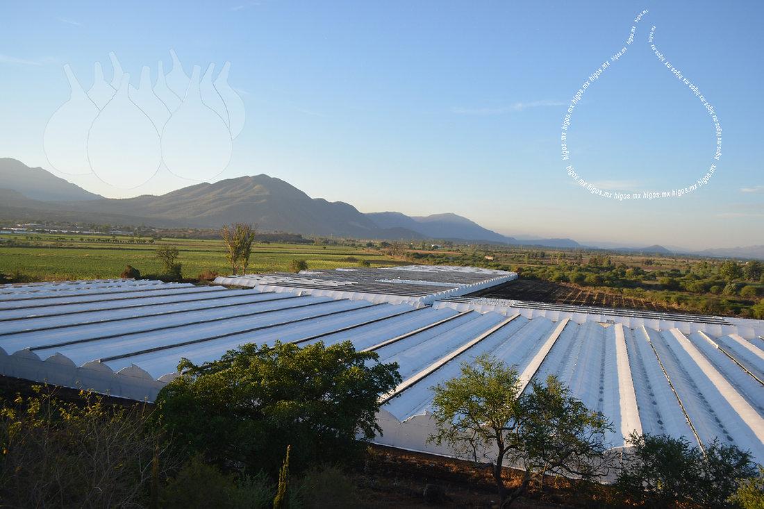 Producción de planta de higo black mission bajo invernadero.