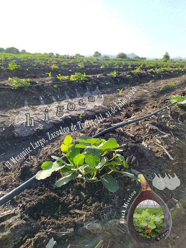 Inicio de plantación de higo black missionen El mezquite Largo, Zacoalco de Torres, Jalisco.