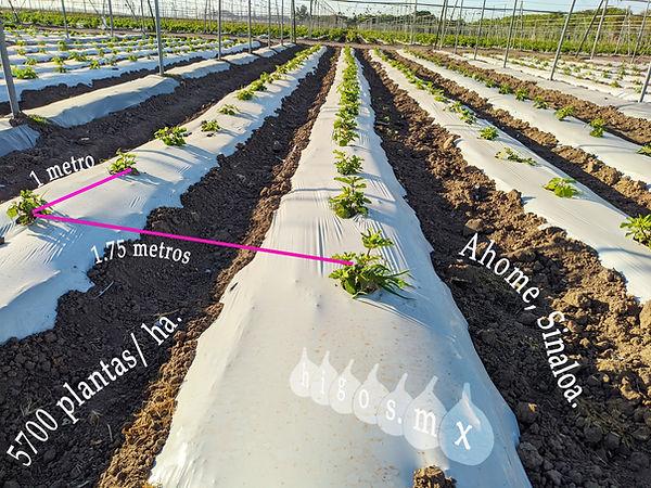 Marco de plantación de alta densidad en plantación de higo black mission.