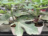 Planta de higo en maceta