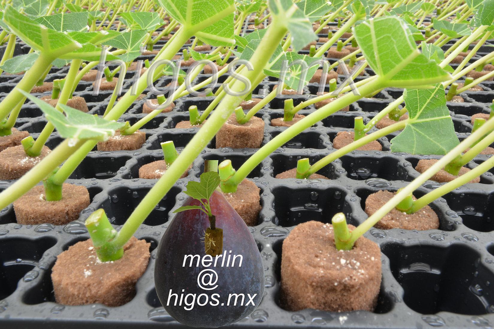 Propagación de ramas vegetativas de higo black mission