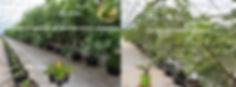 Inicio del cultivo de higo black mission utilizando esqueje vegetativo o estaca.