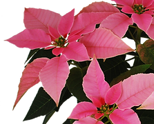 flor de nochebuena  princettia light pink