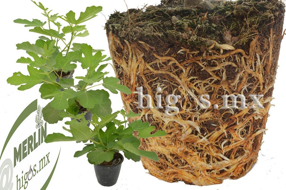 Plantas de higo black mission mostrando raíces.