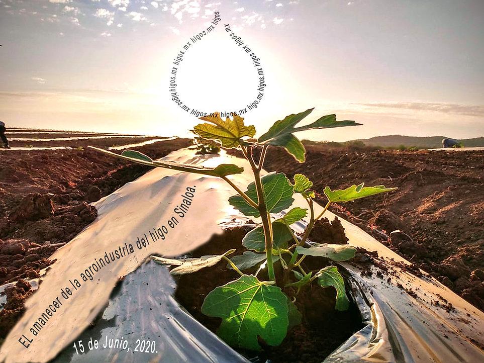 El amanecer/inicios del cultivo del higo black mission en Sinaloa, México.