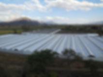 Merlin Greenhoses producción de planta de higo