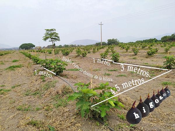 Marco plantación higo black mission Villa de Alvarez, Colima.