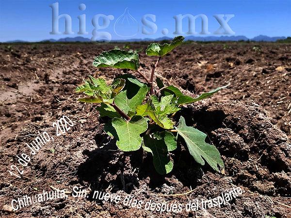 Plantación de Higo Black Mission en Chihuahuita, Sinaloa.