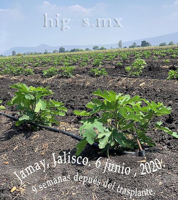 Plantación de higuera Black Mission en Jamay , Jal, 6 junio 2020 a 9 semanas despúes del trasplante.