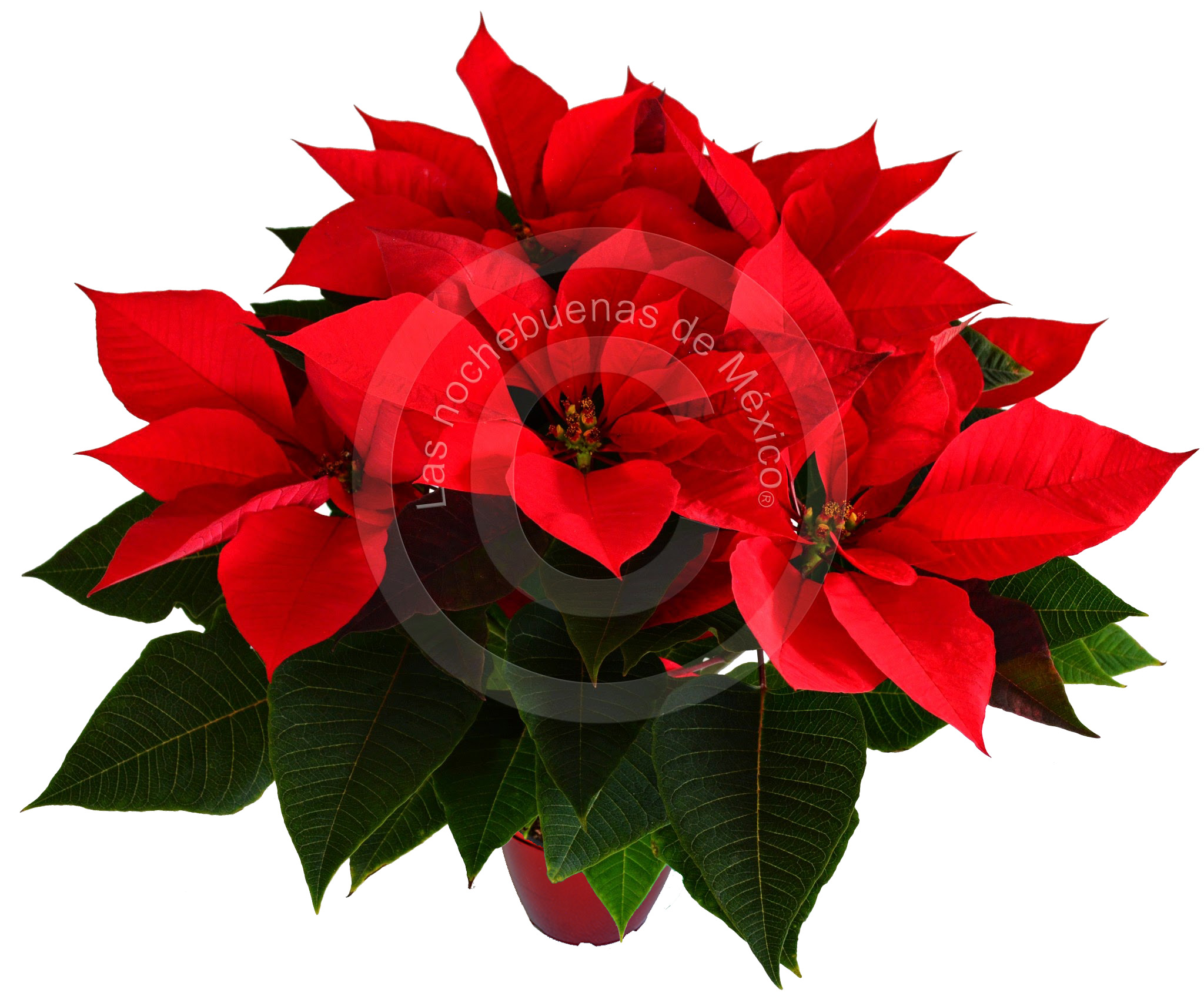 Flor de nochebuena prestige  en maceta de 6 pulgadas