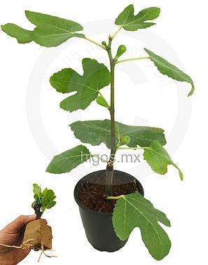 Planta de estaca con frutos en contenedo
