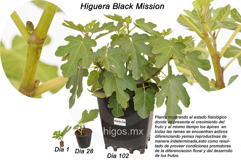 Higo Black mission en estado fisiológico donde se desarrollan yemas reproductivas  e inicia el  crecimiento de fruto.