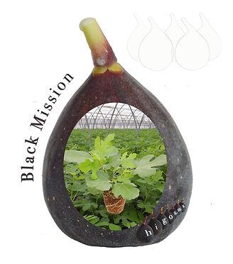 Higo black mission fruto y planta.jpg