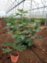 Plantas provenientes de ramas vegetativa