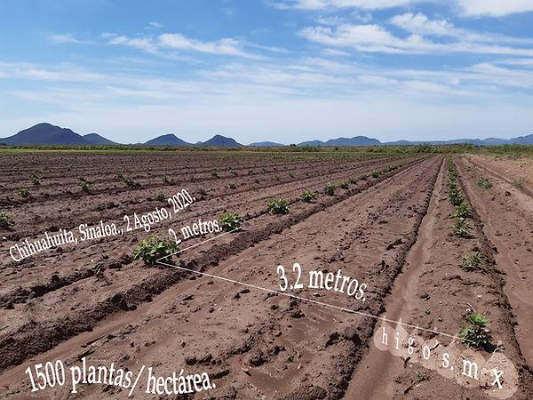 plantación de higo black mission en Chihuahuita , Sinaloa, 1500 planta /ha