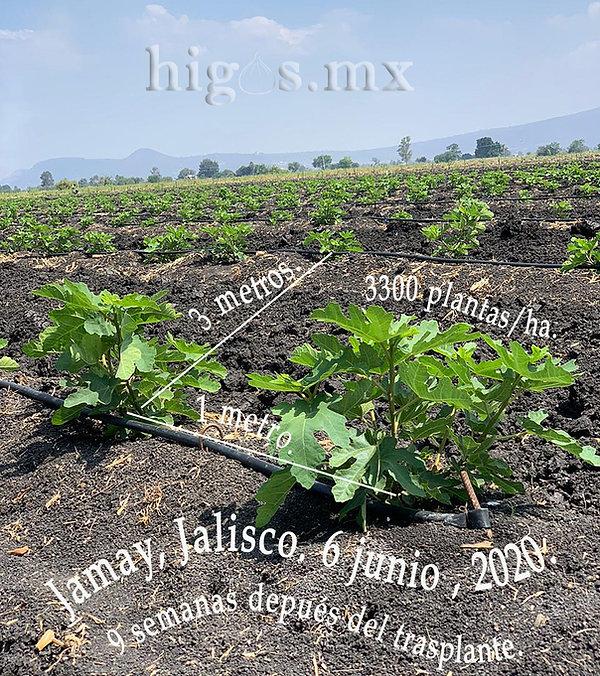Plantacion de 3300 plantas/ha de higo black mission.