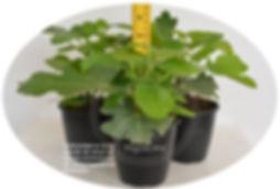 Uniformidad en plantas provenientes de ramas terminales vegetativas en higo black mission..jpg