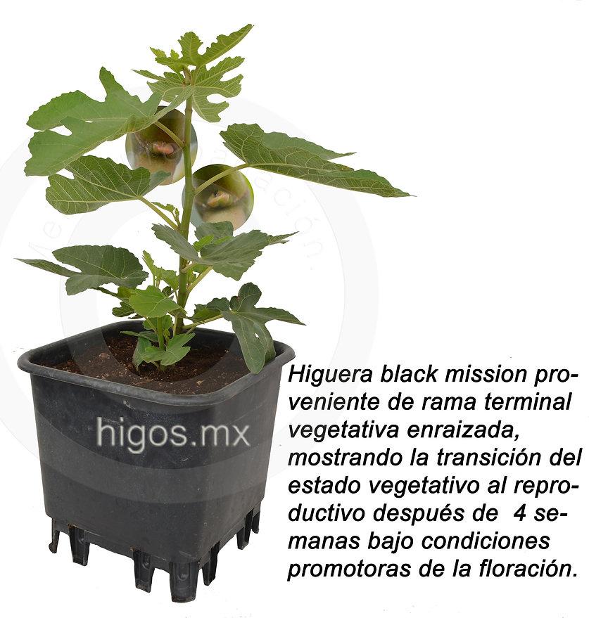 Transicion floral en higo black mission.jpg