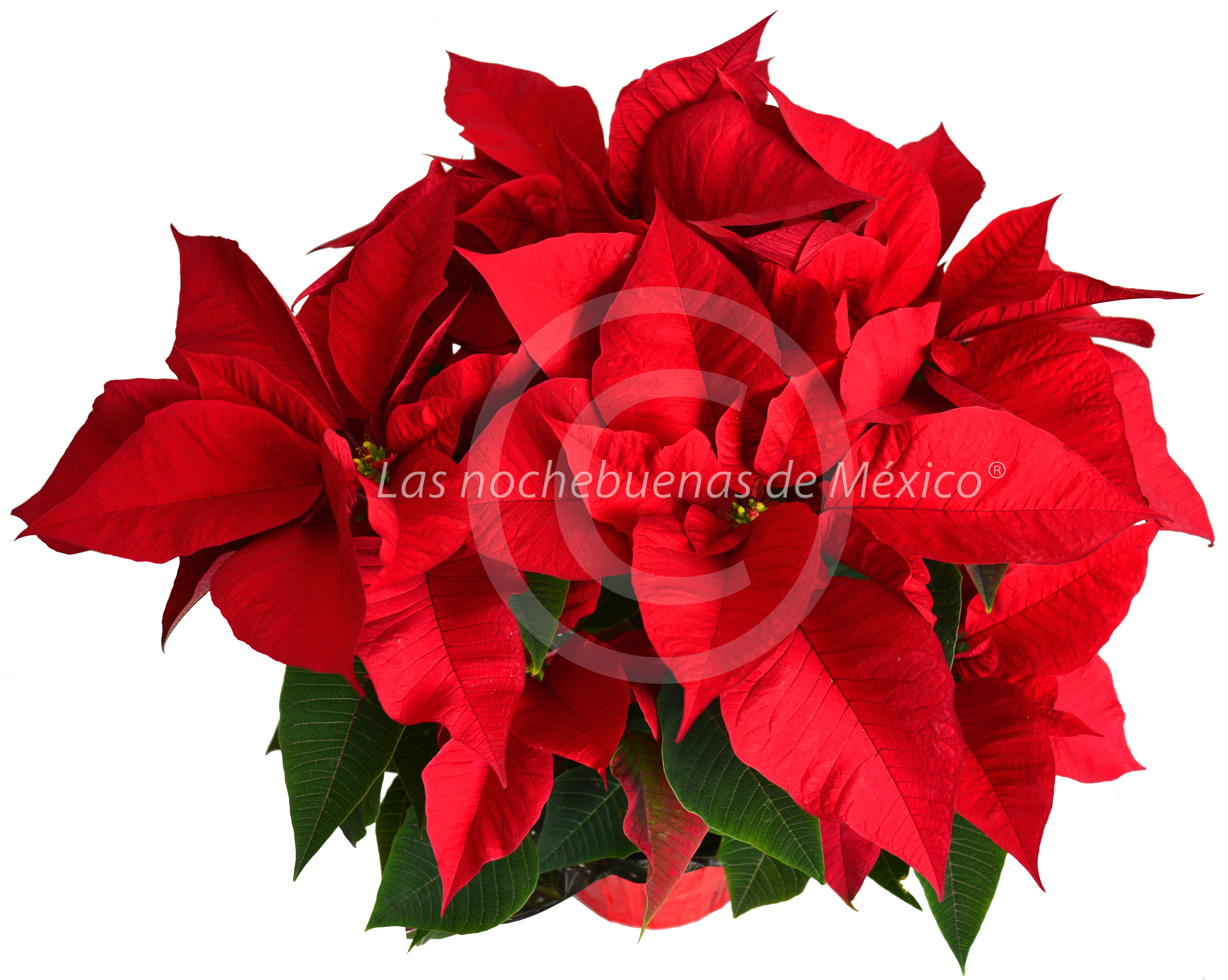 """Flor de nochebuena6"""""""