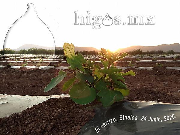 Higo black mission en su etapa inicial en Sinaloa.
