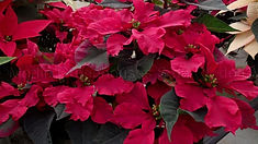 Flor de nochebuena Carroussel dark red.