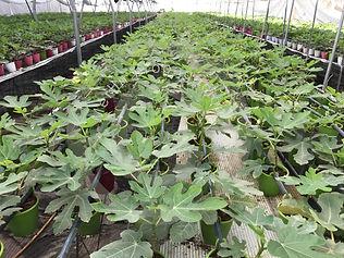 Planta de higuera