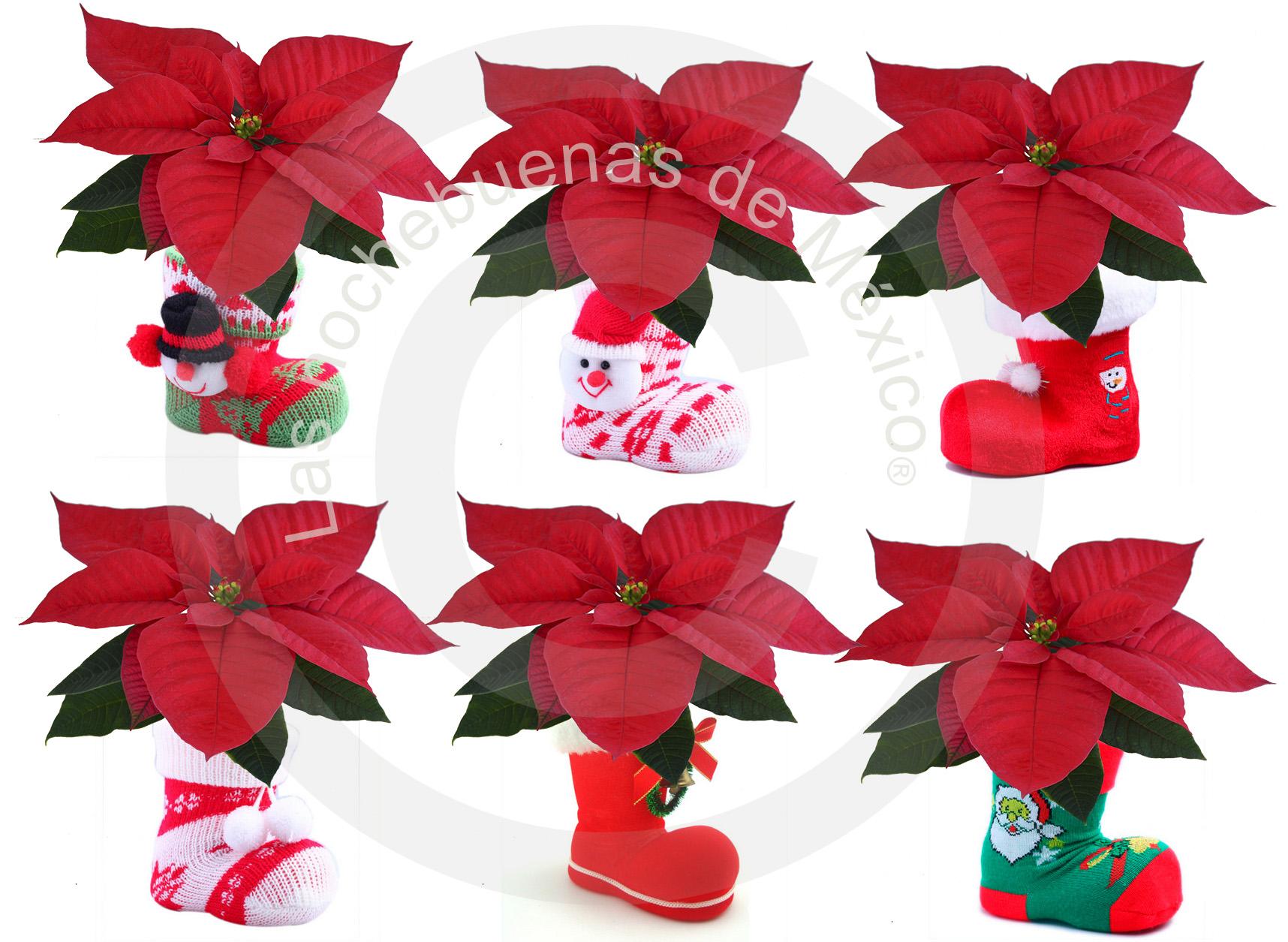 """Nochebuenas 2"""" en botas navideñas"""