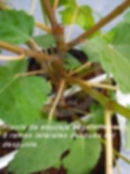 Ramas laterales en cada entrenudo en planta proveniente de esqueje vegetativo en higo black mission..jpg