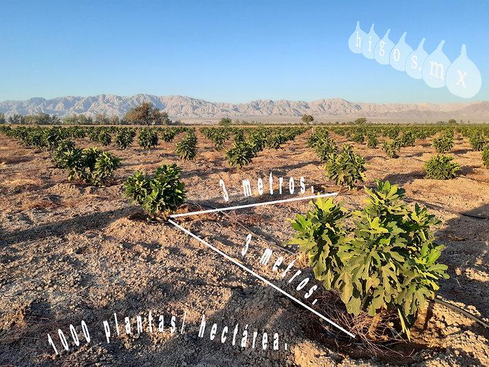 Densidad de plantación de higo black mission  de 1000 plantas / hectárea.