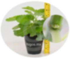 Planta higo black mission diferenciando yema reproductiva.