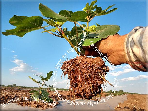 El carrizo , Sin. Desarrollo de raíces sanas 8 días despues del trasplante