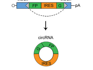 Engineering circular RNAs