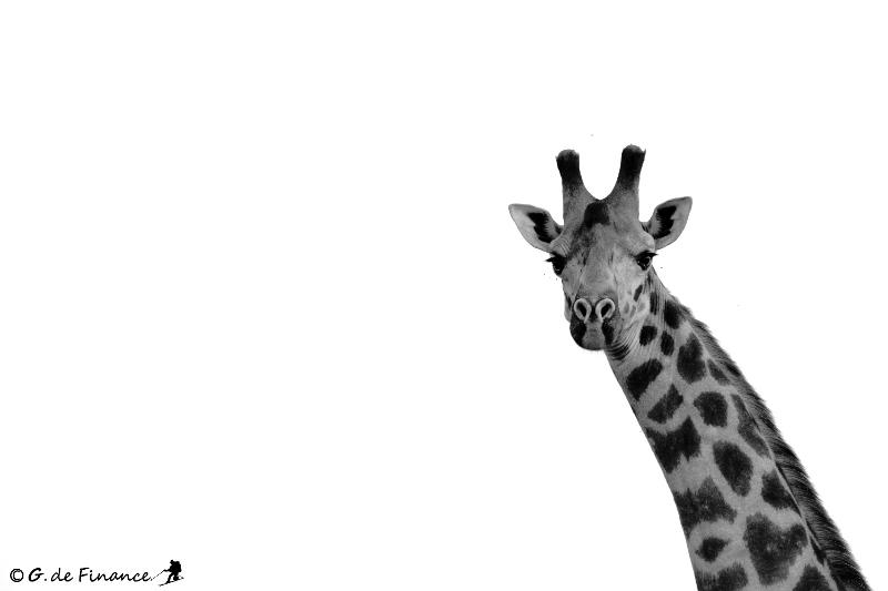 girafe NB