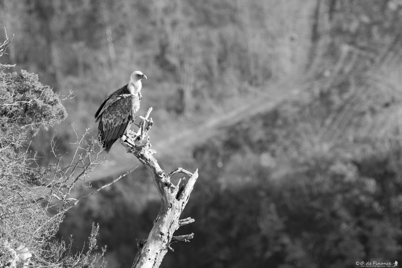 vautour-2934