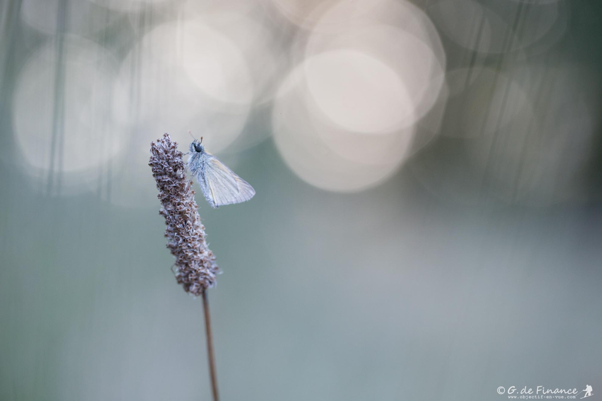 papillon-5778