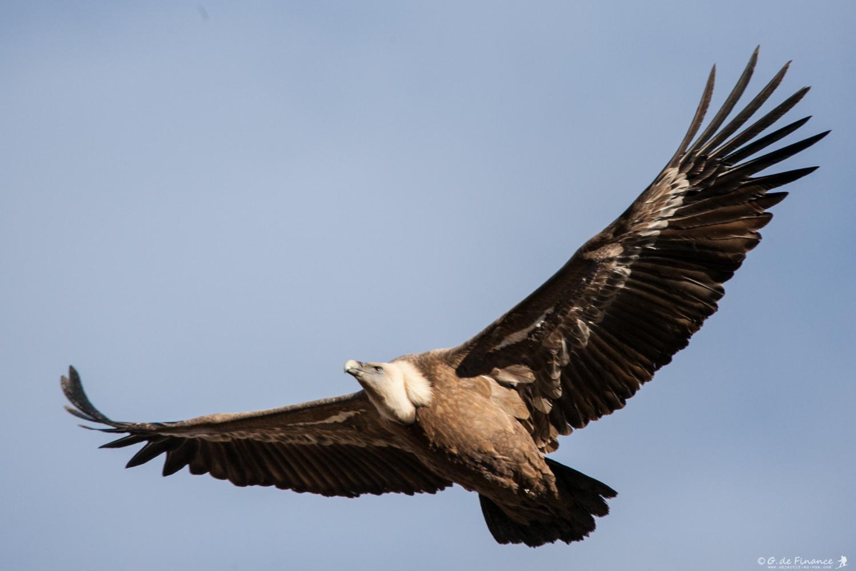vautour-3048