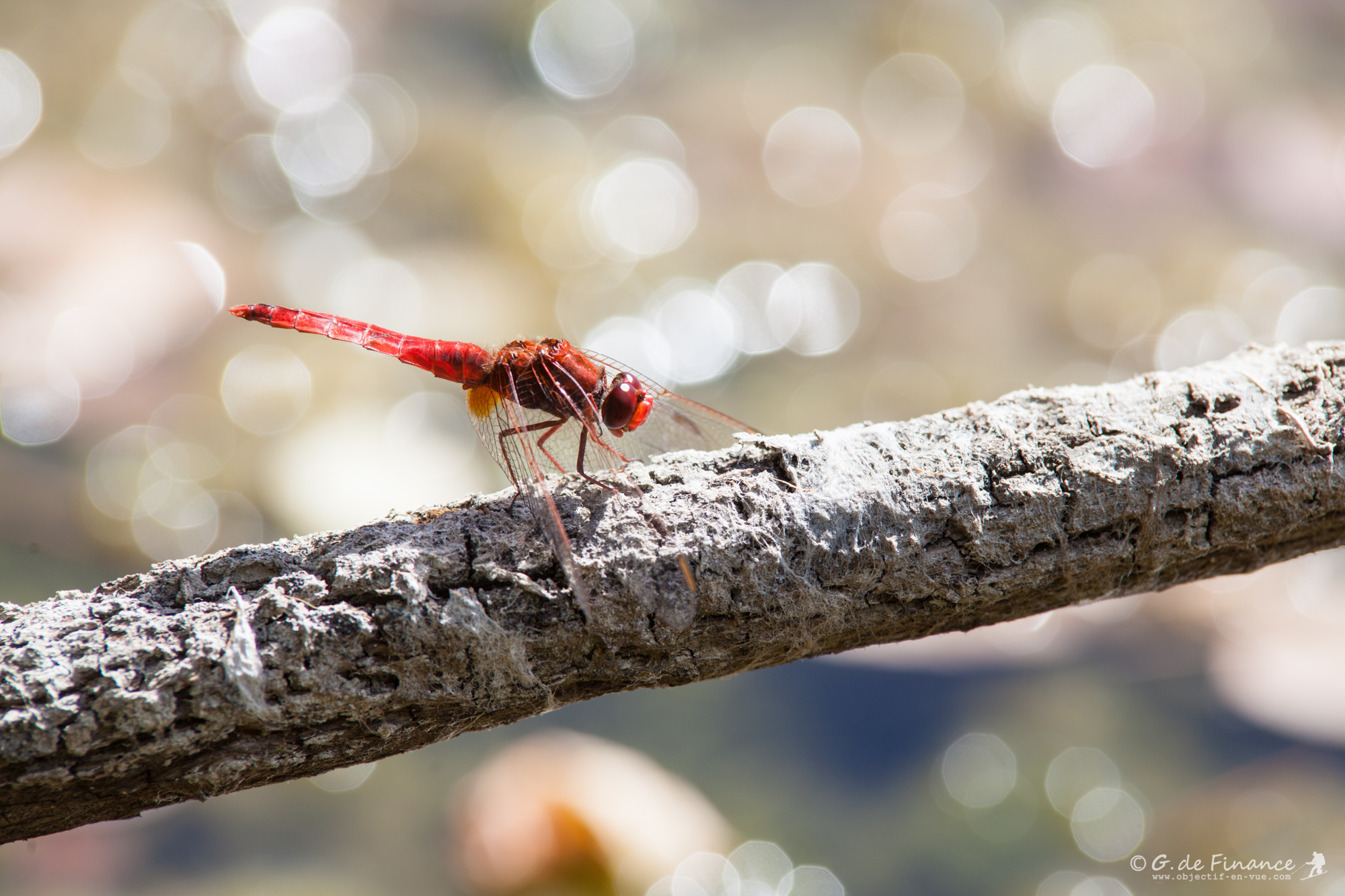 libellule ecarlate