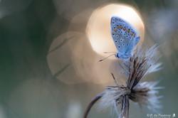 papillon-5804