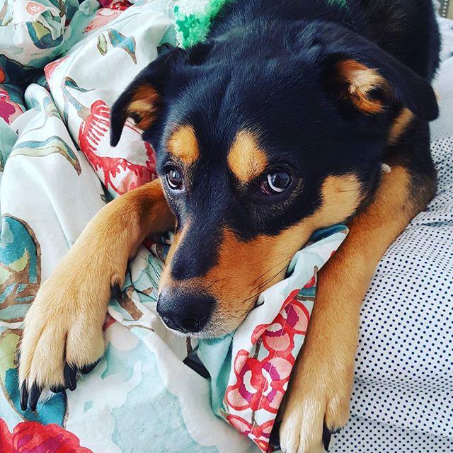 _Wanna cuddle__ -Hildie #hildiethepup #dogsofinstagram #cuddlebug