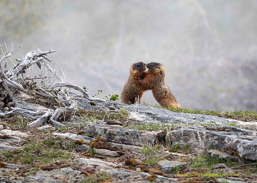 Sumo Marmots.jpg