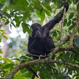 Gorilla-2.png