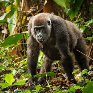 Gorilla-3.png