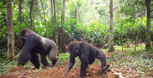 Gorilla primates Congo