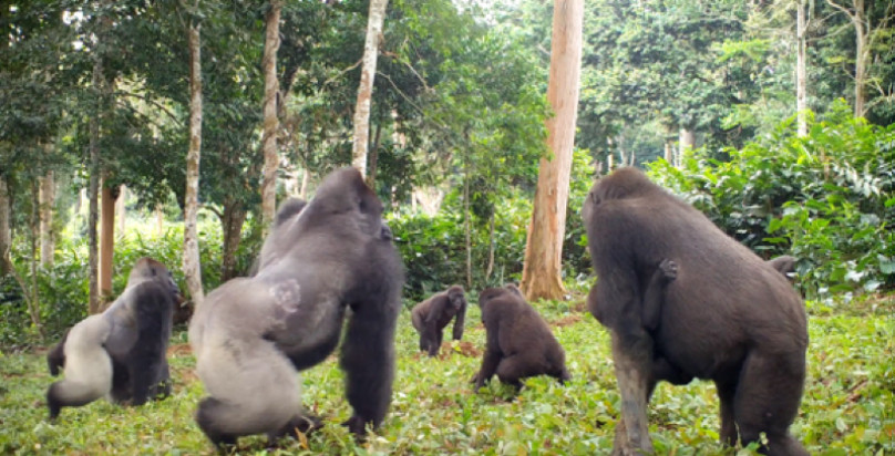 Gorilla Concervation and Research