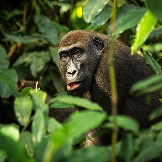 Gorilla-4.png